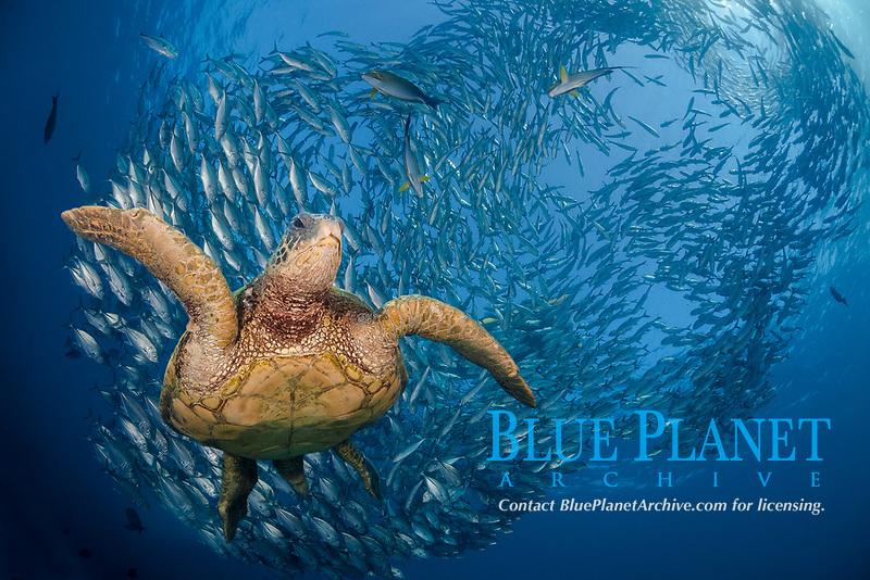 green sea turtle, Chelonia mydas, Bali, Indonesia Indo-Pacific Ocean, digital composite