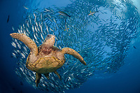 green sea turtle, Chelonia mydas, Bali, Indonesia Indo-Pacific Ocean, digital composite