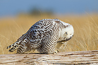 Snowy Owl (Bubo scandiacus) maintaing its facial feathers by scratching with its claws and rubbing. Grays Harbor County, Washington. December.