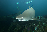 Sand Tiger Shark (Carcharias taurus) (c) (de) North Carolina, Atlantic