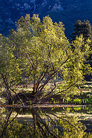 Salix lasiolepis, Arroyo Willow tree by Duck pond in morning light, Southern California Montane Botanic Garden