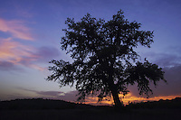 Live Oak, Quercus virginiana, oak tree at sunset, Uvalde County, Hill Country, Texas, USA, April 2006