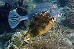 Acanthostracion polygonius, Honeycomb cowfish, Florida Keys
