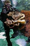 ARNHEM - Een duiker van Burgers' Zoo in Arnhem zet vrijdag een 6 jaar oud koraal uit in het grote koraalrifbassin (750.000 liter). Het koraal is opgegroeid in de kweekruimte van Burgers' Ocean en is daar gegroeid van een slechts 7 cm. koraaltje naar een gevaarte van  60 cm en ruim 4 kg zwaar. Jaarlijks worden zo'n 200  zelfgekweekte koralen op deze wijze uitgezet op het Arnhemse rif, maar nog nooit is zo'n groot stuk uit de eigen kweek geoogst. Het koraalrifaquarium van Burgers' is uniek in de wereld. Het kweken van levend koraal is noodzakelijk om te voorkomen dat koralen uit de natuur worden gebruikt voor aquaria. Koralen hebben daarnaast zwaar te lijden onder de klimaatverandering, zoals het Great Barrier Reef, een groot koraalrif voor de kust van Australië. Door opwarming van het zeewater is de aangroei van nieuw koraal op het rif gedaald naar het laagste punt in 400 jaar.