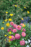 Old-fashioned heirloom flowers: Zinnias, pink Magellan Coral, with perennial Achillea and Salvia farinacea and white petunias in annuals and perennials summer garden of blue, yellow and pink color theme mixed together, cutting flower garden