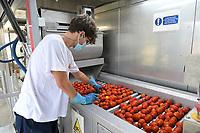 ITALY, Parma, tomato canning company Mutti s.p.a., founded 1899, fresh havested plum tomatoes are processed and conserved as passata direct on the field at the Mutti Insta factory, a mobile conserving unit / ITALIEN, Parma, Basilicanova,Tomatenkonservenhersteller Firma Mutti spa, die frisch geernteten Flaschentomaten werden direkt auf dem Feld in der Insta Factory, einer mobilen Konservierungsanlage, zu Passata verarbeitet, manuelle Aussortierung