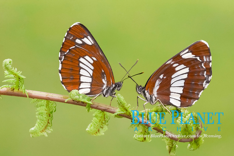 Hungarian Glider (Neptis rivularis), two adults, resting on fern frond, Italy, Europe