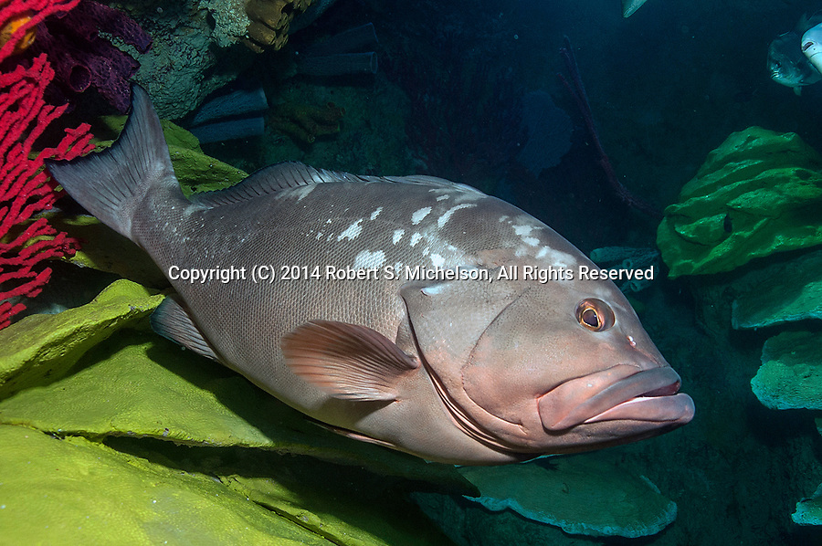 Red Grouper resting on coral facing right