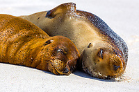 Two cute fur seals sleeping and sunbathing together close-up portrait, on a white sand beach in the Galapagos Islands, Ecuador