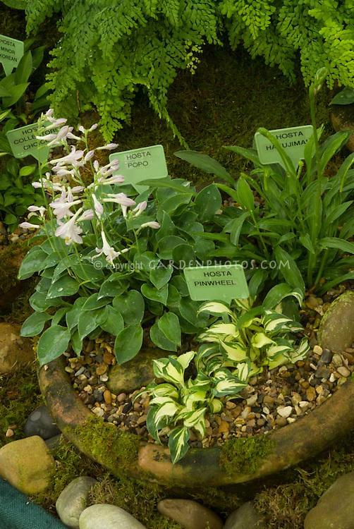 Hostas in pots (miniatures with labels): Popo, Hakujima, Pinwheel