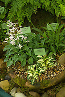 Hostas in pots (miniatures with labels): Popo, Hakujima, Pinwheel