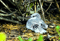 Red tailed tropicbird or koa e ula, (phaethon rubricauda rothschildi). Rare along windward coasts of main Hawaiian islands