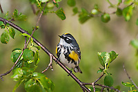 Yellow-rumped Warbler (Dendroica coronata) male along Lake Erie shoreline near Canada and USA border during annual spring migration northward to summer breeding grounds. Some 63% of all Yellow-rumped warblers nest in Canada's boreal forests.