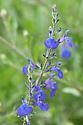 Salvia greggii 'Blue Note', early July.