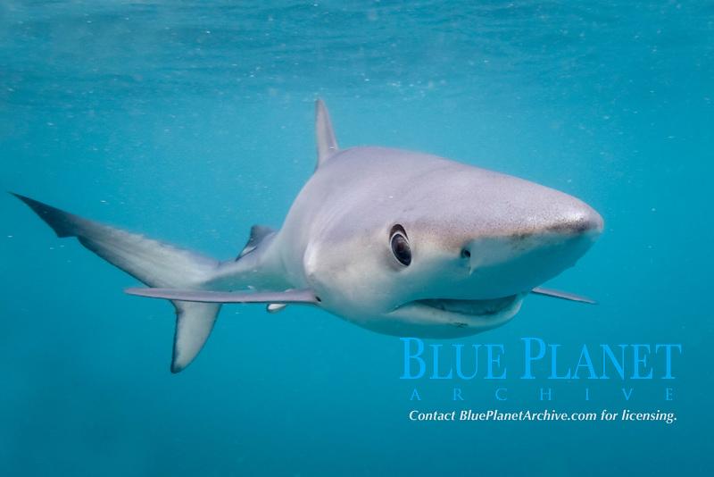 blue shark, Prionace glauca, Cape Point, South Africa, Atlantic Ocean