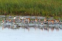Flock of American avocets in breeding plumage