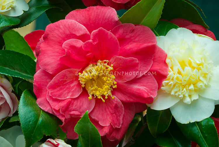 Camellia japonica 'R. L. Wheeler' fragrant rose red flowers with Camellia x williamsii 'Jury's Yellow'