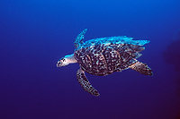 hawksbill turtle, Eretmochelys imbricata, French Cay, Turks and Caicos, Caribbean, Atlantic Ocean