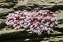 English stonecrop (Sedum anglicum) growing on an exposed cliff face. Devon, UK. June.