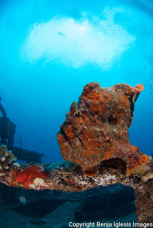 Red Comerson frgfish at the st Anthonys wreck and snorkeler on the surface maui Hawaii.