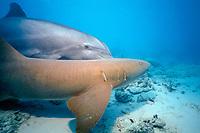 JoJo, a wild sociable bottlenose dolphin, Tursiops truncatus, amuses himself by harassing a nurse shark, Ginglymostoma cirratum, Turks and Caicos, Caribbean Sea, Atlantic Ocean