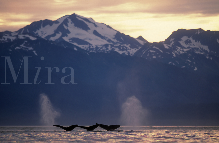 Humpback whales lift their flukes as they dive deep into the waters of Lynn Canal near Juneau, Alaska.