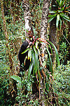 Spectacled bear, feeding on a tree epiphyte at the La Planada Nature Reserve, Colombia