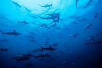 schooling scalloped hammerhead sharks, Sphyrna lewini, Cocos Island, Costa Rica, Pacific Ocean