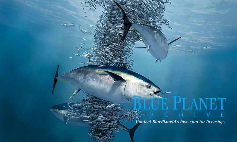 Atlantic bluefin tuna, Thunnus thynnus, feeding on herrings, Norway, North Sea, digital illustration