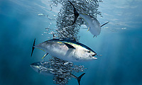 Atlantic bluefin tuna, Thunnus thynnus, feeding on herrings, Norway, North Sea, digital illustration