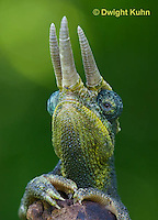 CH35-614z  Male Jackson's Chameleon or Three-horned Chameleon, close-up of face, eyes and three horns, Chamaeleo jacksonii