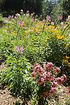 ECHINACEA PURPUREA, PURPLE CONEFLOWER, CLEOME HASSLERANA, SPIDER FLOWER, AND RUDBECKIA HIRTA, GLORIOSA DAISY