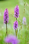 A cluster of fragrant orchids (Gymnadenia conopsea) in ancient alpine meadow. Nordtirol, Austrian Alps, Austria, June.