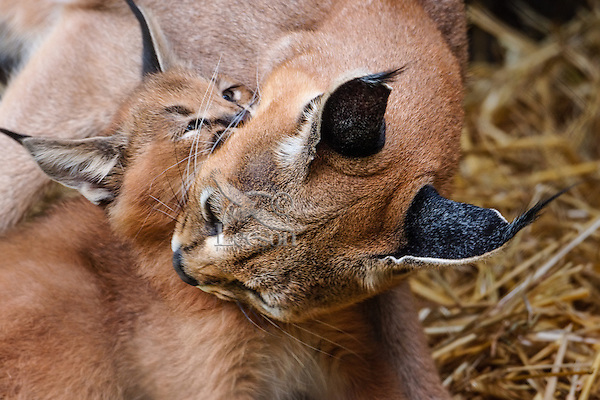 """Caracal (Caracal caracal) mom with young kitten.  The word """"Caracal"""" comes from the Turkish word """"karakulak"""" which means """"black ear.""""  Found in Africa through Central Asia and India."""