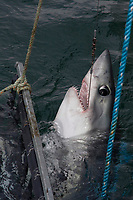a hooked porbeagle shark, Lamna nasus, is pulled into the boat to be measured and tagged for research, New Brunswick, Canada (Bay of Fundy)