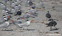 0103-1001  Flock of Royal Terns with a Few Gulls, Thalasseus maximus maximus (syn. Sterna maxima)  © David Kuhn/Dwight Kuhn Photography