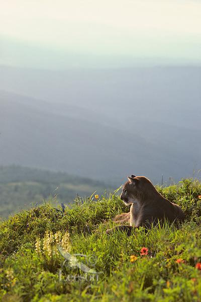 Mountain Lion or cougar (Felis concolor) resting in alpine meadow, Cascade Mountains, Washington.  Summer.