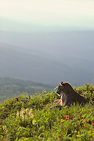 Mountain Lion or cougar (Felis concolor) resting in alpine meadow, Cascade Mountains, Washington.  Summer.