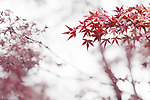 Japanese maple, Acer palmatum, red leaves in autumn mist artistic abstract photo on white foggy background, Kyoto, Japan Image © MaximImages, License at https://www.maximimages.com