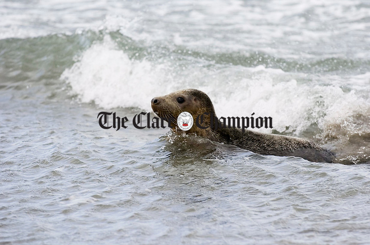"""An excited  """"Kelly"""", the seal, which was found on the road in Limerick, makes its way  into the sea at Seafield, Quilty, after being released by the Irish Seal Sanctuary on Sunday last. Photograph by John Kelly."""