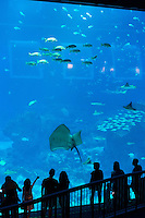 Giant Stingray at panoramic panel of Sentosa Aquarium, Singapore