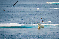 Male Polar Bear, Ursus maritimus, climbing onto iceberg, Baffin Island, Canada, Arctic Ocean