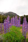 Lupins, Cascade Creek, Fiordland, New Zealand
