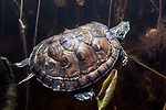Head started Northern Red-bellied cooter swimming underwater in Burrage Pond, Hanson, MA.