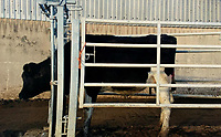 "Pictured: The stolen cow<br /> Re: Dyfed-Powys Police has become the first police force in the UK to use DNA evidence from a stolen cow in a criminal court case.<br /> The force used DNA from a £3,000 heifer, which had been retagged by a neighbouring farmer after escaping from a field, to prove it had been stolen.<br /> The blood samples were compared against cows on the victim's farm to prove a familial link and secure a conviction.<br /> David Aeron Owens, of Salem Road, St Clears, pleaded guilty to theft at Swansea Crown Court on Monday, February 3.<br /> PC Gareth Jones, officer in case, said: ""This has been a long and protracted enquiry, and it has taken a lot of work and patience to get to this point.<br /> ""Without the use of the heifer's DNA we would not have been able to prove that it had been stolen by Mr Owens, and that he had tried to alter identification tags to evade prosecution.<br /> ""We are proud to be the first force in the UK to use a cow's DNA in a criminal case, and will continue to use innovative methods to get justice for victims.""<br /> The investigation started in December 2017, when a farmer in St Clears reported the theft of one of his 300 cows which had escaped from his field four months earlier.<br /> Mr Owens had denied the missing animal was on his land, but the victim recognised it among the herd.<br /> PC Jones visited the farm and was handed a cow passport, listing ear tag numbers for the cow in question and the animal Mr Owens alleged was its mother.<br /> PC Jones applied for a warrant to seize the stolen cow, which was separated from the herd and had blood samples taken for DNA comparison."
