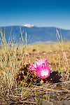 montana state flower, the bitterroot blooming on the top of mount sentinel with lolo peak and the bitterroot mountain range in the distance