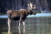 MS01-033z   Moose - bull (male) feeding at Sandy Stream Pond in Baxter State Park, Maine - Alces alces