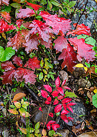 Colorful autumn groundcover, Vermont, USA.