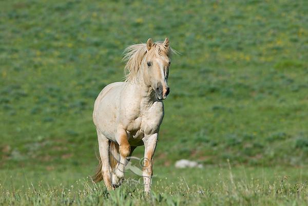 Wild Horse or feral horse (Equus ferus caballus)--young stallion running.  Western U.S., summer.
