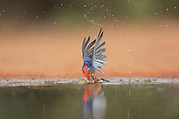 Painted Bunting (Passerina ciris), adult male bathing, Rio Grande Valley, South Texas, Texas, USA